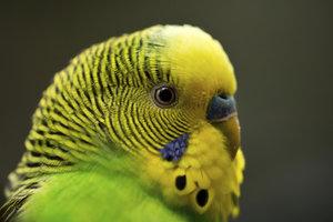 Wellensittiche sind die beliebtesten Ziervögel - und recht einfach zu züchten.