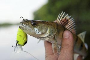 Der Zander ist ein nicht einfach zu fangender Raubfisch.