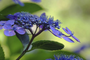 Hortensien sind manchmal blau.