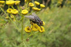 Die Fliege ist ein interessantes Insekt.