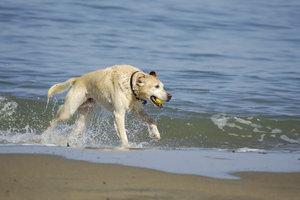 Ein Amerikanischer Labrador muss gefordert und gefördert werden.