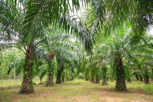 Palmfett wird aus den Früchten der Ölpalme hergestellt.