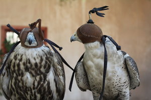 Falkenhauben vermindern Stress bei den Greifen.