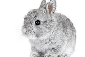 Kaninchen mit Ramsnase - ein potentieller Zahnpatient?