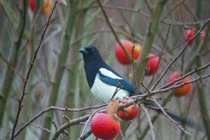 Wer eine Elster im Garten hat, sieht einen selten gewordenen Vogel.