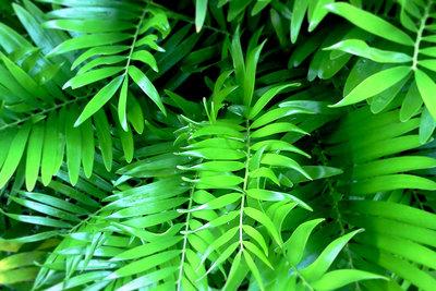 Richtige Pflege hält die Palmenblätter frisch und grün.