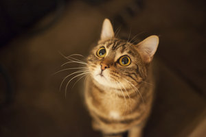 Katzen können an einem Nickhautvorfall leiden.