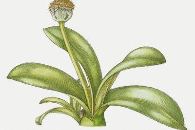 Das Elefantenohr ist eine robuste und pflegeleichte Zimmerpflanze.