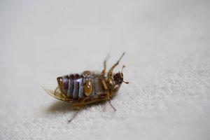 Kleine braune Käfer im Schlafzimmer kann man mit unterschiedlichen Maßnahmen beseitigen.