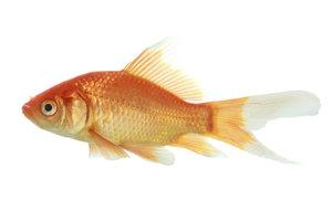 Das goldfarbene Schuppenkleid entwickelt sich beim Goldfisch erst im Alter von einem Jahr.