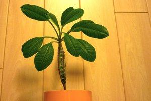Die Euophorbia leuconeura ist eine imposante, pflegeleichte Zimmerpflanze.