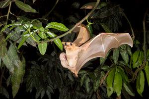 Fledermäuse sind fliegende Säugetiere.