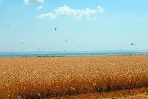 Wanderheuschrecken fressen ganze Felder kahl.