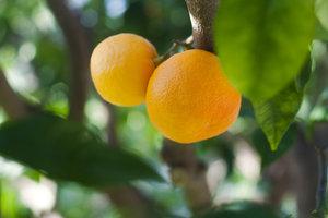 Orangenblütenwasser wird aus Pomeranzen-Blüten gewonnen.