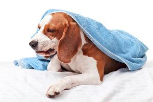 Nicht immer ist ein Hund krank, wenn er Schaum erbricht.