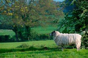Ein Schaf im Garten hält die Wiese kurz - Obstbäume sollten darauf aber nicht sein.