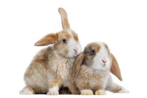Für eine Kaninchen-Paarhaltung sollten Sie die Geschlechter unterscheiden können.