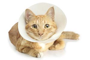 Eine Halskrause kann eine Übergangslösung für die Katze sein.