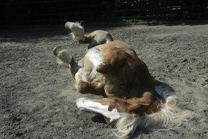 Bei starker Kolik werfen sich viele Pferde auf den Boden.