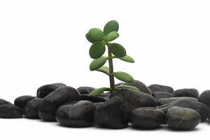 Der Pfennigbaum ist eine anspruchslose Zimmerpflanze.