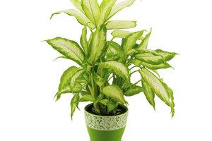 Die Dieffenbachia ist eine hübsche Zimmerpflanze, die viel Feuchtigkeit benötigt.