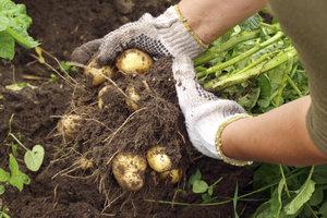 Reiche Kartoffelernte auf wenig Platz - mit dem Kartoffelturm.