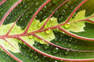 Ein markantes Merkmal von Pfeilwurzgewächsen sind die farbig gemusterten Blätter.