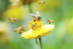 Bienen sind eher an Pflanzen als an Menschen interessiert und stechen nur im Notfall.