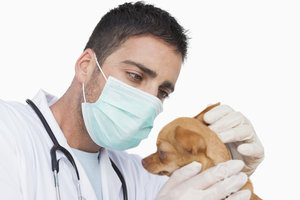 Der Besuch beim Tierarzt ist bei der Pflege der Hundeohren manchmal notwendig.