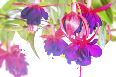 Ein richtiger Schnitt sorgt für üppige Blüte.