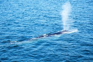 Der Blauwal ist vom Aussterben bedroht.