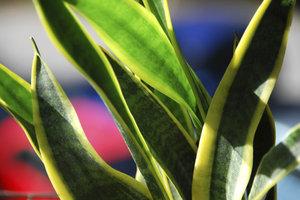 Die Sansevieria ist eine pflegeleichte Zimmerpflanze.