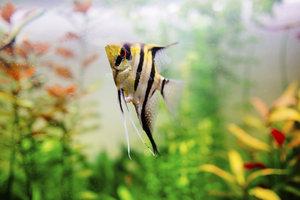 Der Koi Skalar gehört zu den beliebten Aquariumfischen.