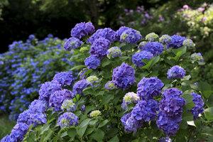 Blaue Blumen gelten als Universalsymbol der romantischen Dichtung.
