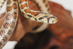 Leopardnatter - die schönste Schlange Europas?