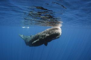 Im Schamanismus kann der Traum vom Wal Konflikte lösen.