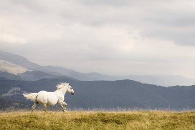 Dieses Pferd galoppiert im Rechtsgalopp.