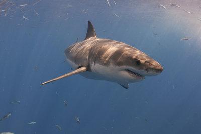 Der Weße Hai - ein schneller und gefährlicher Jäger.