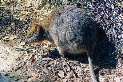 Das Quokka mit seinen typischen runden Ohren.