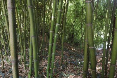 Schnell wachsender Bambus schützt Sie im Garten vor neugierigen Blicken.