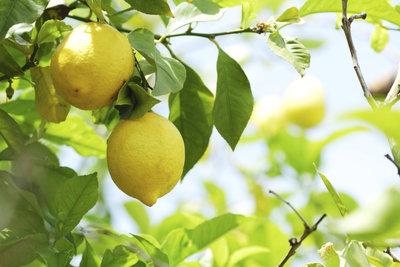 Erste Anzeichen für einen Schädlingsbefall am Zitronenbaum sind oft klebrige Blätter..