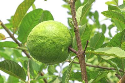 Guavenpflanzen gedeihen hierzulande im Kübel und tragen köstliche Früchte.