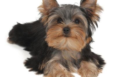 Yorkshire Terrier sind temperamentvolle und intelligente Zwerghunde.