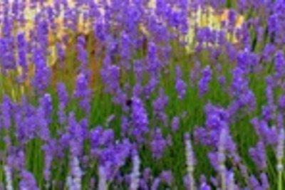 Der Lavendel ist eine robuste Balkonpflanze.