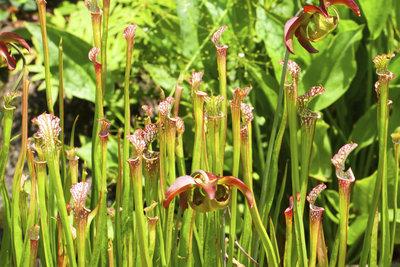 Schlauchpflanzen sind eine Gattung der fleischfressenden Pflanzen.