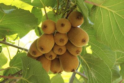 Viele Kiwi-Arten können problemlos im Garten angebaut werden.