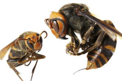 Die Riesenhornisse ist die größte Art der Hornissen. Ihr Stachel wird bis zu 6 Milimeter lang!
