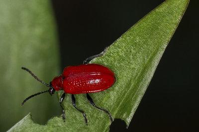 Rote Käfer an Lilien sind Schädlinge, die vor allem Lilien stark schädigen können.