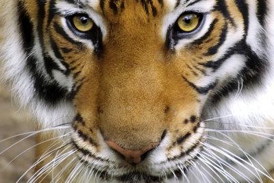 Der Tiger ist das Vorbild für das Avatar-Make-up.