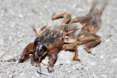 Maulwurfsgrillen sind auch in deutschen Gärten zu finden - sie werden bis zu zehn Zentimeter groß.